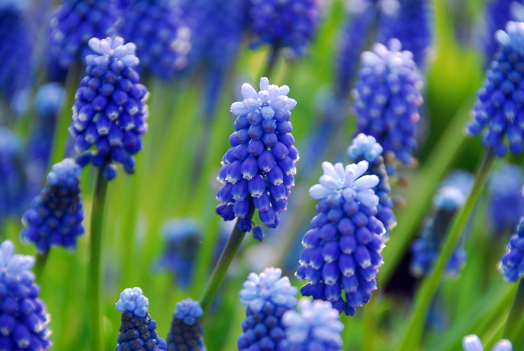 Muscari armeniacum 'Sky Magic' - (c)iBulb