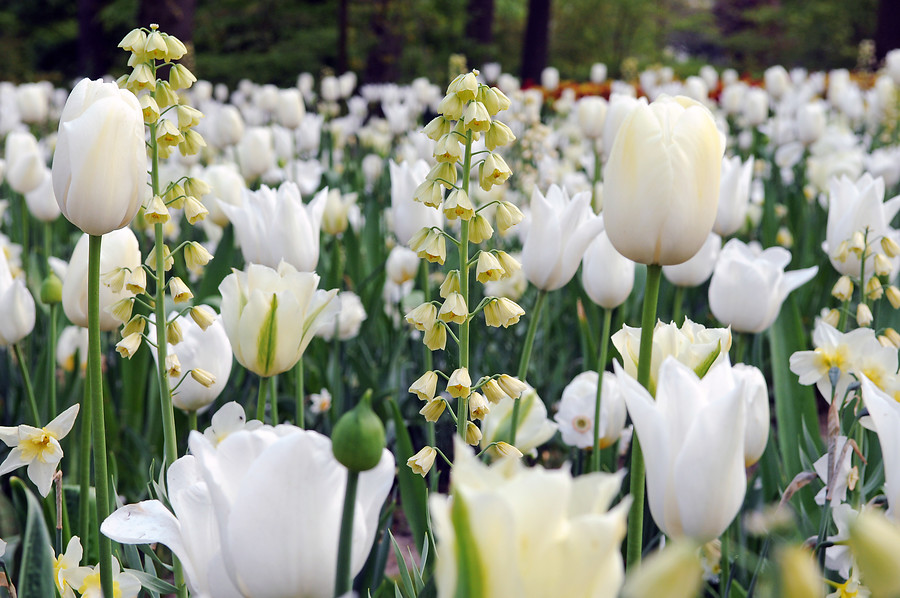 Fritillaria persica 'Ivory Bells', Tulipa''Spring Green', 'Françoise', 'White Triumphator', Narcissus 'Lieke' © iBulb